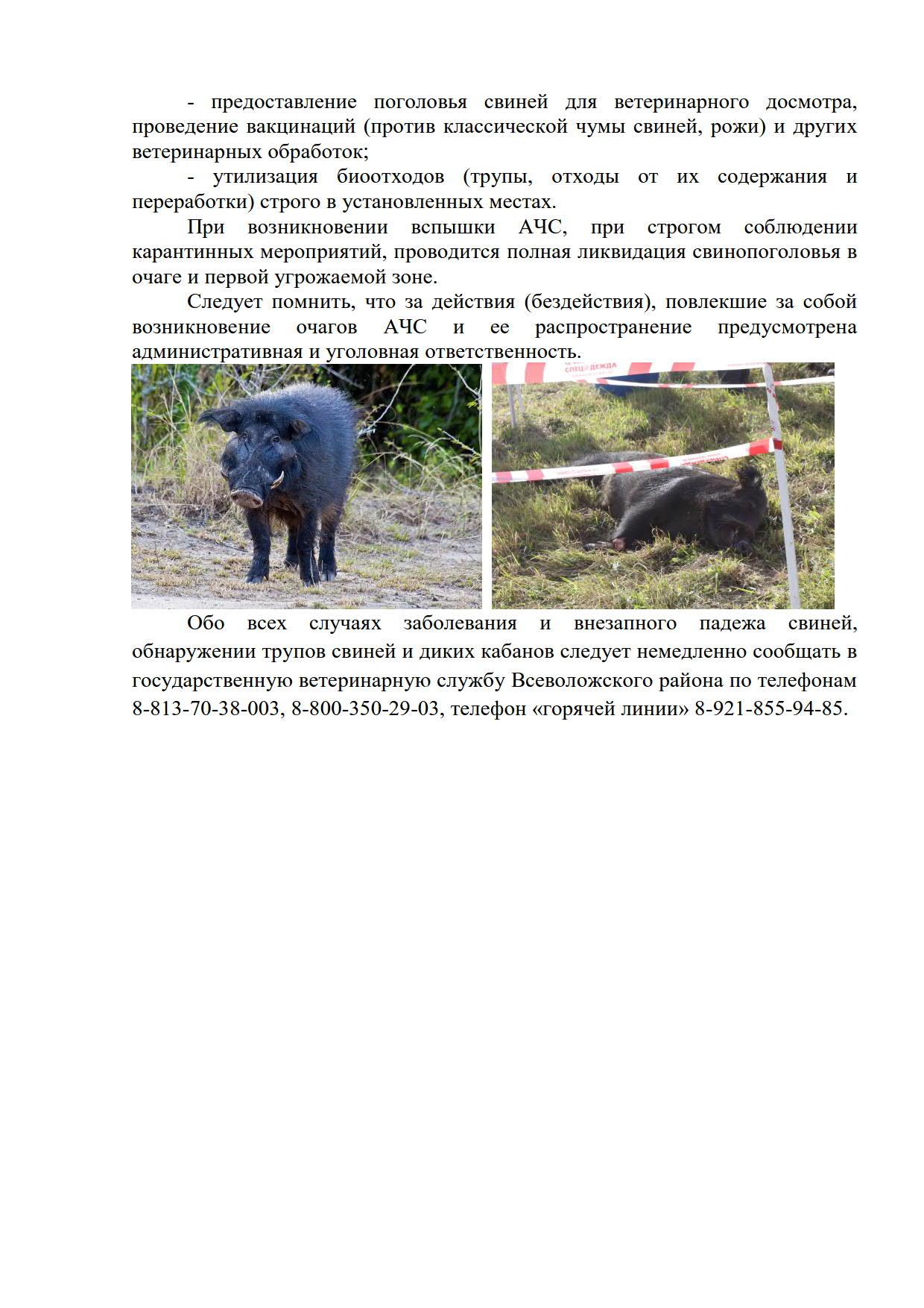 Угроза возникновения африканской чумы свиней во Всеволожском районе не исчезла.статья_4